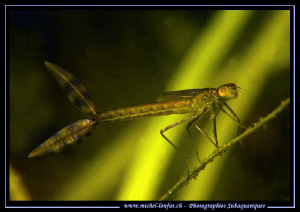 Another kind of Mayfly found in a small water retention n... by Michel Lonfat 